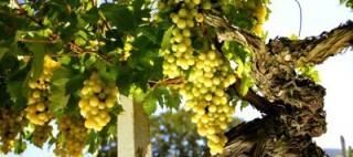cropped-randi-glazer-white-wine-grapes.jpg